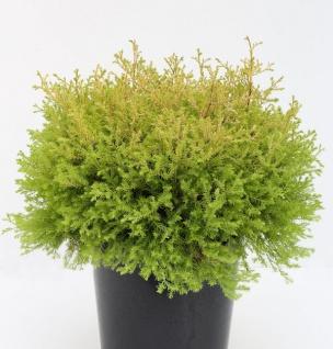 Lebensbaum Rheingold 15-20cm - Thuja occidentalis