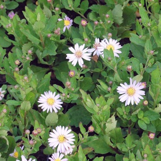 Herbstaster Stardust - Aster ageratoides