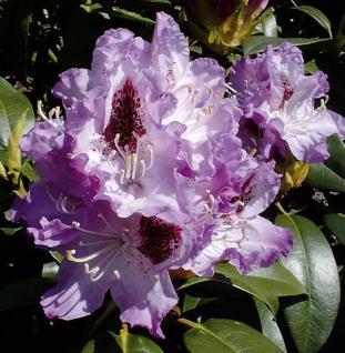 INKARHO - Großblumige Rhododendron Blue Peter 50-60cm - Alpenrose