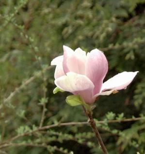 MAGNOLIA soulangiana MAGNOLIA Sweet Valentine 30-40cm