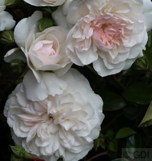 Bodendeckerrose Swany® 20-30cm