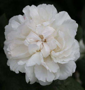 Englische Rose Winchester Cathedral® 30-60cm