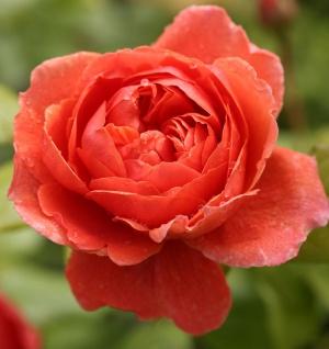 Englische Rose Summer Song® 30-60cm