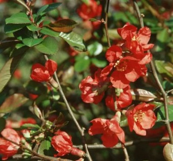 Zierquitte Red Trail 80-100cm - Chaenomeles