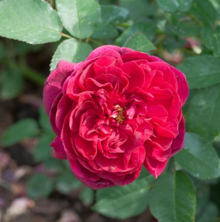 Hochstamm Rose Darcey Bussell 80-100cm