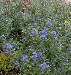 Bartblume Kew Blue 30-40cm - Caryopteris clandonensis