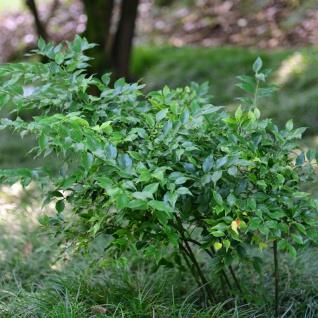 Mäusedornblättrige Fleischbeere 25-30cm - Sarcococca ruscifolia