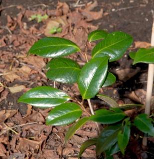 Nach Vanille duftende Fleischbeere Winter Gem 20-25cm - Sarcococca humilis