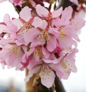 Hochstamm Zwerg Zierkirsche Ruby 100-125cm - Prunus kurilensis