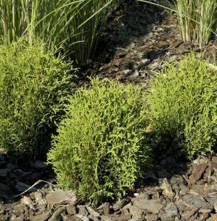 Lebensbaum Tiny Tim 15-20cm - Thuja occidentalis
