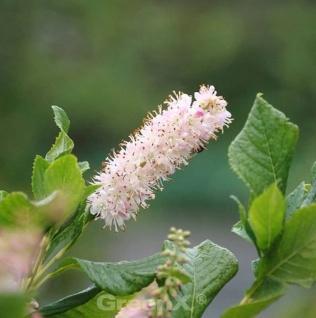 Rosa Zimterle Silberkerzenstrauch 40-60cm - Clethra alnifolia