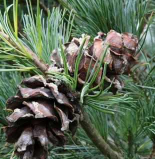 Bonsaiartige blaue Mädchenkiefer 50-60cm - Pinus parviflora