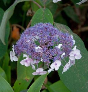 Fellhortensie 30-40cm - Hydrangea aspera