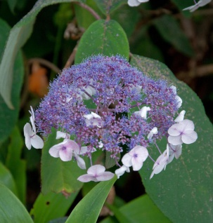 Fellhortensie 40-60cm - Hydrangea aspera