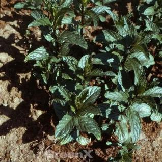 Grüne Minze Black Spearmint - Mentha spicata