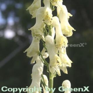 Eisenhut vulparia - Aconitum vulparia