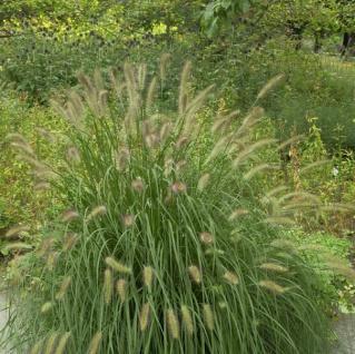 Lampenputzergras Herbstzauber - Pennisetum alopecuroides