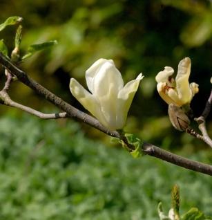 Hochstamm Magnolie Daphne 100-125cm - Magnolia