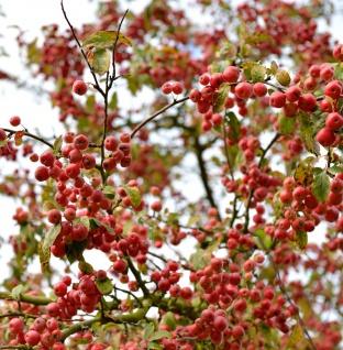 Zierapfel Red Jewel 60-80cm - Malus Hybride