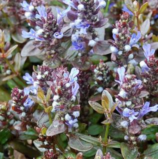 Günsel Chocolate Chip - Ajuga reptans