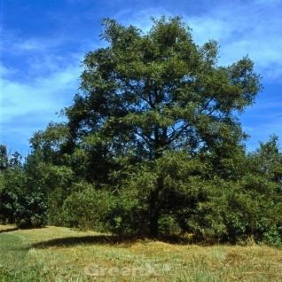 Geschlitzblättrige Eiche Pectinata 80-100cm - Quercus robur
