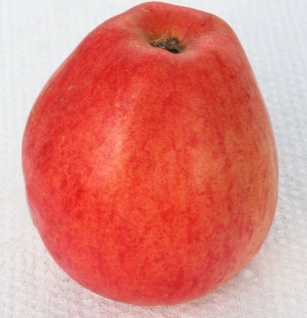 Apfelbaum Nathusius Taubenapfel 60-80cm - würzig und zimtartig