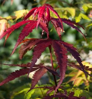 Fächerahorn Red Emperor 60-80cm - Acer palmatum