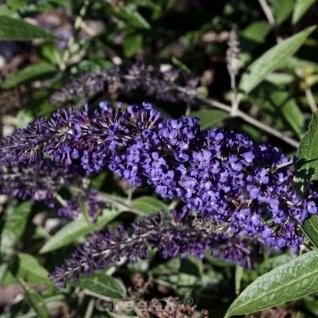 Zwerg Schmetterlingsstrauch Blue Chip Jr. 60-80cm - Buddleja