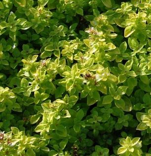 Wilder Majoran Thumbles Variety - Origanum vulgare