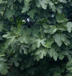 Schweizer Feige 40-60cm - Ficus helvetica