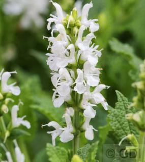 Salbei Sensation Compact White - großer Topf - Salvia nemorosa