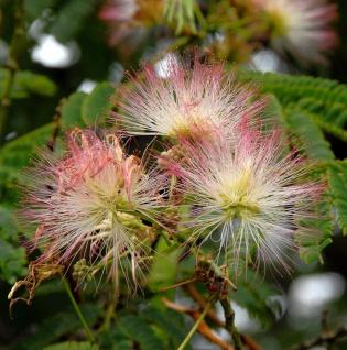 Hochstamm Seidenakazie Ombrella - Schlafbaum 60-80cm - Albizia julibrissin