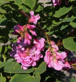 Borstenakazie Macrophylla 100-125cm - Robinia hispida