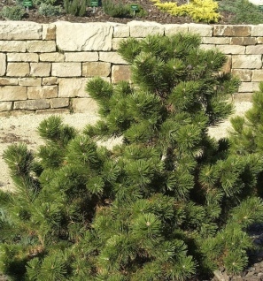 Strauchkiefer Gnom 15-20cm - Pinus mugo