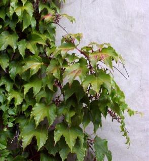 Jungfernrebe 100-125cm - Parthenocissus tricuspidata