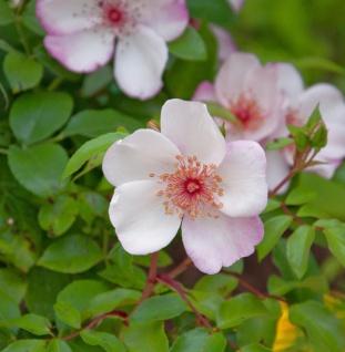 Floribundarose Sweet Pretty 30-60cm