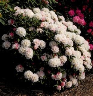 Großblumige Rhododendron Chrstian Gutschow 50-60cm - Alpenrose