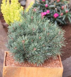 Blaue Zwerg Kiefer Martham 25-30cm - Pinus sylvestris - Vorschau