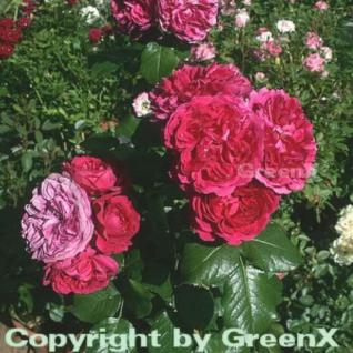 Hochstamm Rose Red Leonardo da Vinci® 80-100cm