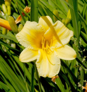 Taglilie Stella d Oro - großer Topf - Hemerocallis