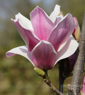 Magnolia soulangiana Hochstamm Tulpen Magnolie Heaven Scent 80-100cm