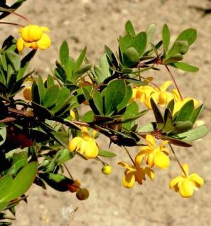 Grüner Polster Berberitze 30-40cm - Berberis buxifolia Nana