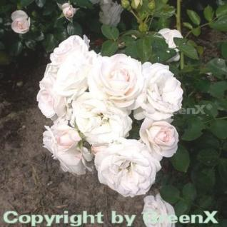 Floribundarose Aspirin Rose® 30-60cm - Vorschau