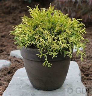 Breite Kissenzypresse Kamarachiba 25-30cm - Chamaecyparis obtusa