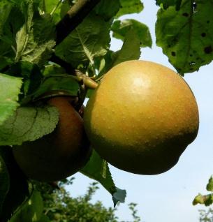 Apfelbaum Goldboskoop 60-80cm - guter Winterapfel