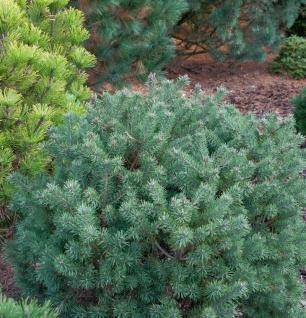 Lettische Zwerg Waldkiefer 40-50cm - Pinus sylvestris