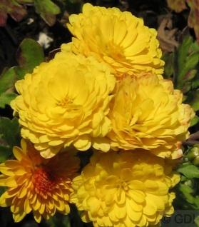 Winteraster Bienchen - Chrysanthemum hortorum