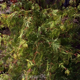 Schlitzfächerahorn Emerald Lace 80-100cm - Acer palmatum