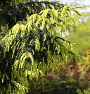 Kaukasus Fichte Aurea 125-150cm - Picea Orientalis