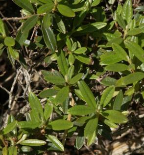 Zwerg Rhododendron Artic Tern 15-20cm - Rhododendron trichostomum